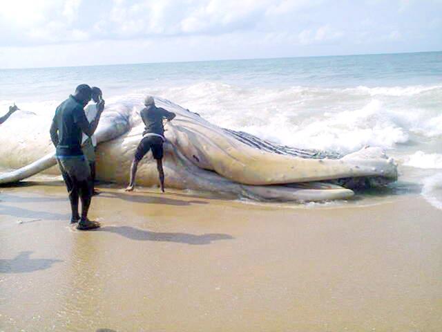 BIG WHALE FOUND IN LAGOS BEACH – IHEANYI IGBOKO'S BLOG